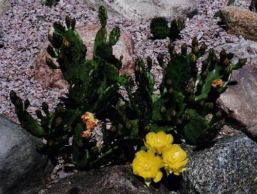 Photos Of Hardy Opuntia Humifusa