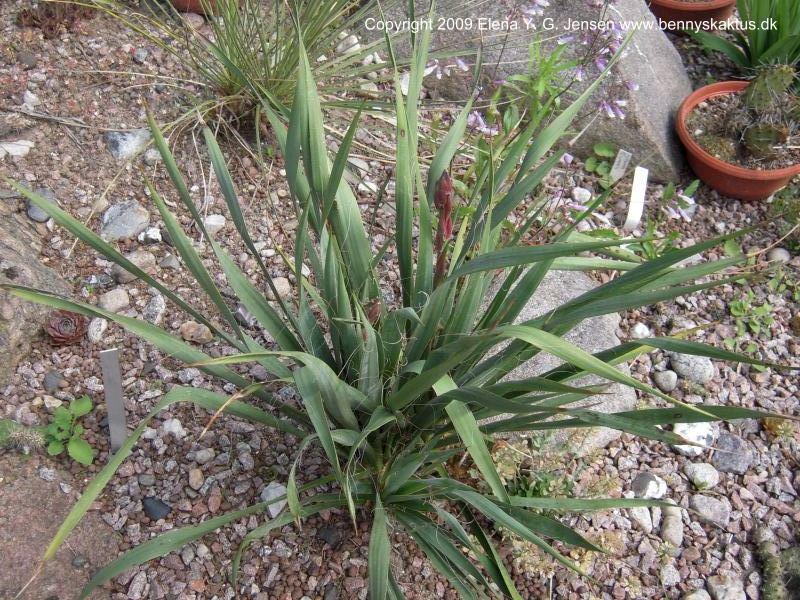 Yucca Plant Types Yucca 39 Karlsruhensis Type