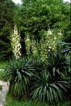 Yucca recurvifolia, cultivated in Budapest Botanical Garden in Hungary